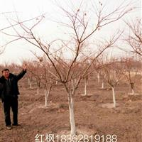 1——15红枫基地/日本红枫价格/中国红枫产地/红枫图片