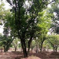 江蘇供應大量從生樸樹 有需要聯系