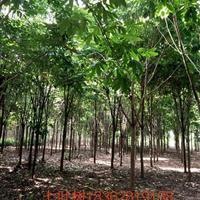 苗木基地供應大量七葉樹  1——22公分