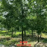 供应沭阳大量皂角树 有需要联系