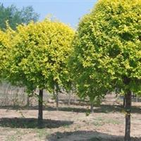 供应金叶复叶槭4-7公分/金叶复叶槭价格