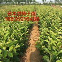 哪有卖日本甜柿子树的?日本甜柿苗几年挂果?挂果甜柿树详情介绍
