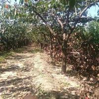 3公分日本甜柿树价格·5公分甜柿子树价格·供应日本甜柿子树