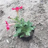 矮牵牛 大红色  自有基地各种时令草花出售