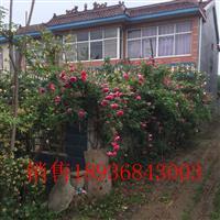 薔薇月季價格 爬藤植物月季 (月季爬藤200種花色)