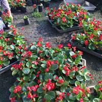 四季海棠.海棠花种植基地.适合摆放市政工程花海的草花