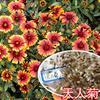 批发出售天人菊,松果菊,二月兰,马连,刺玫等种子花卉林木种子