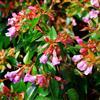 红花六道木种苗预订