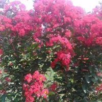美国三红紫薇(红叶紫薇,红火球,红火球)出售:高度30—80