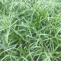 供应大量水生植物旱伞草 杭州货源