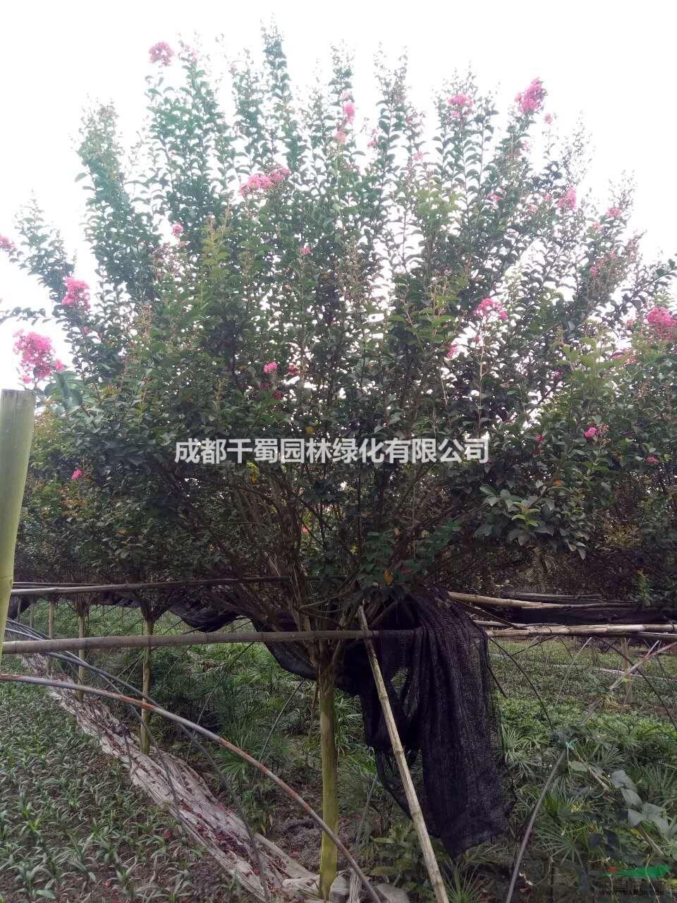 6公分大红紫薇价格.适合编织造型的紫薇树