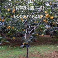 山西甜柿子树·8公分10公分甜柿树价格·出售山西运城甜柿子树