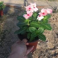 长春花 粉色 盆装 自有基地各种时令草花出售