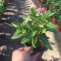 长春花 玫红色 盆装 自有基地各种时令草花出售