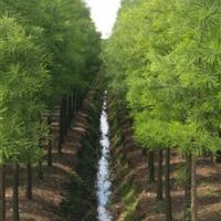 浙江落羽杉、池杉、朴树信息