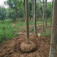 湖南地區供應胸徑12公分的移栽欒樹