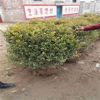瓜子黄杨球价格.60公分冠幅.80公分冠幅价格
