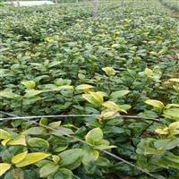 供应各种规格茶花,江苏茶花销售详情描述 ,茶花价格一览