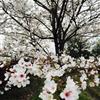 日本红枫2/日本冷杉2/日本樱花2