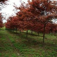 红枫/三季红枫红枫/赤枫/日本红枫/美国红枫