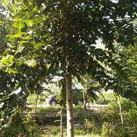 精品榔榆、榔榆基地