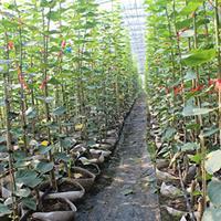 山东地区供应220公分高椴树,欧洲小叶椴,欧洲小叶椴'绿塔'