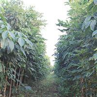 山东地区供应米径1-4公分七叶树,菩提树