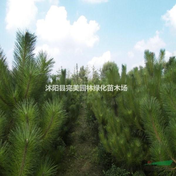供应油松苗木
