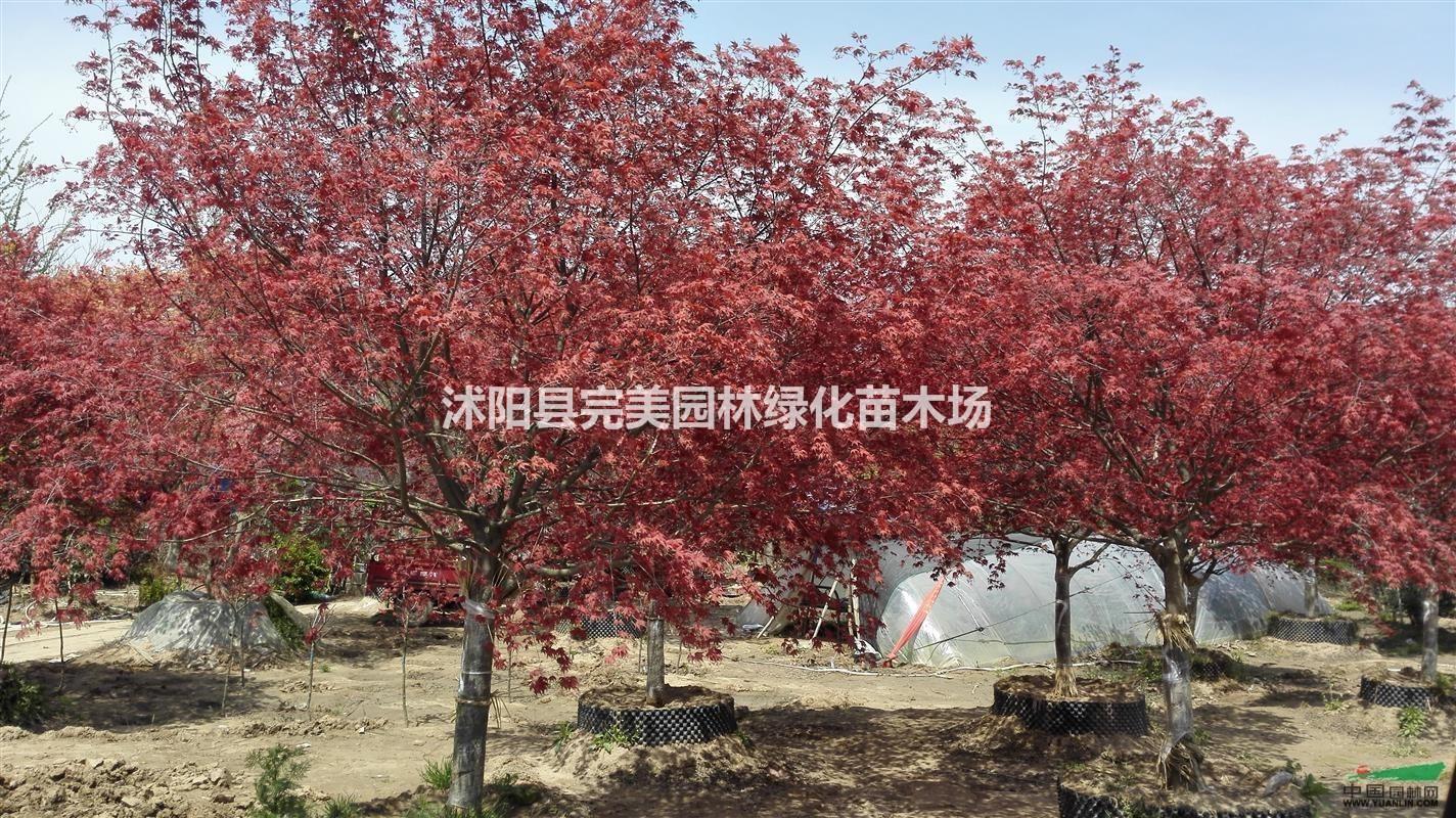 供应日本红枫苗木