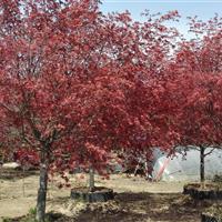 供應日本紅楓苗木