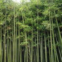 淡竹、早园竹、紫竹、金镶玉竹、刚竹、小毛竹