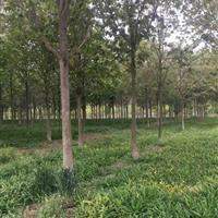 七叶树、银杏树、栾树、红榉树、香樟树、广玉兰、美国红枫、枫香