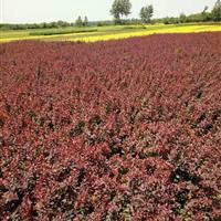 优质红叶小檗、金叶女贞、大量出售