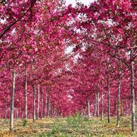 抬头园林供应地径6-8公分海棠,北美海棠