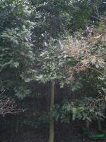 江西观光木信息