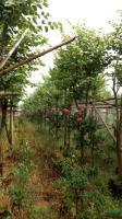 宫粉紫荆8-10公分,600棵,高度4米,冠幅2-2.5米行情报价\宫粉紫荆8-10公分,600棵,高度4米,冠幅2-2.5米图片展示