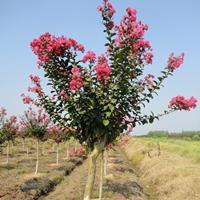 河南紫薇5公分胸径城市街道绿化痒痒树紫金花百日红西洋水杨梅