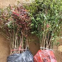 河南兰天竹南天竺70-150公分高彩叶花木小区道路观赏植物
