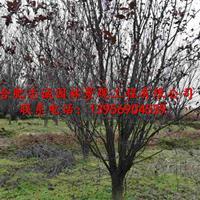 安徽肥西供紫叶李、榔榆、桂花、乌桕、高杆女贞、三角枫、枇杷