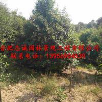 安徽大量出售精品丛生大叶女贞,3米-5米丛生大叶女贞