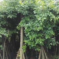 鄂西红豆 (花榈木 )胸径15cm,高5一6米袋苗