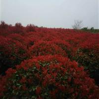安徽红叶石楠球快乐赛车玩法直销厂家,肥西红叶石楠种植苗圃基地