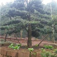 3-5公分罗汉松价格8公分罗汉松10-15公分罗汉松树价格