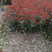 江苏常州【大杯苗】苗圃供应红叶石楠,金森女贞,红花继木,毛鹃
