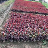 【国庆时令花卉】基地诚信批发:一串红, 孔雀草,矮牵牛,海棠