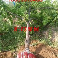 梨树5-10公分价格·梨树5-15公分图片·供应山西运城梨树