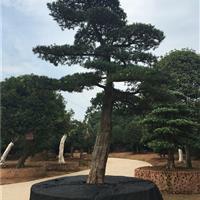 大型罗汉松盆景15公分以上罗汉松古桩大树价格20公分罗汉松