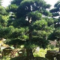 院子里种上5棵20公分精品造型罗汉松,打造园林花式物语
