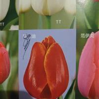 郁金香种植基地