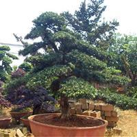 小叶罗汉松小叶罗汉松价格怎样种植小叶罗汉松?罗汉松盆景造型